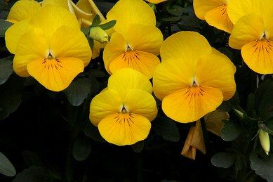 黄色のビオラdownsize