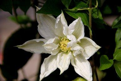 テッセンは夏の花downsize