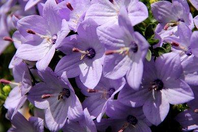 薄紫があざやかな花downsize