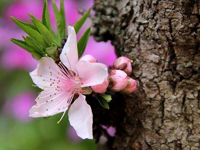 幹から咲いた桃の花REVdownsize