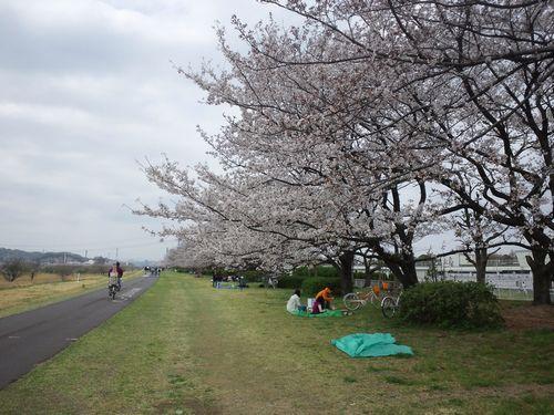 多摩川の桜01