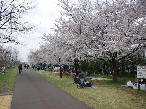 多摩川の桜02