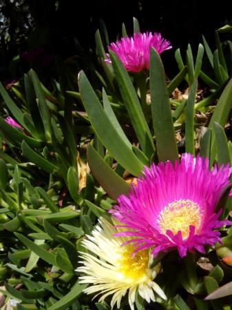 fleurs pink