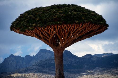 ソコトラ島に行って龍血樹を見たくなりました