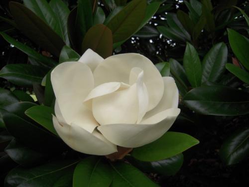 タイサンボクの花盛り