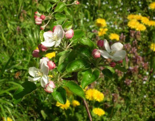 120428-りんごの花