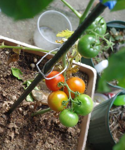 120627-フルーツトマト