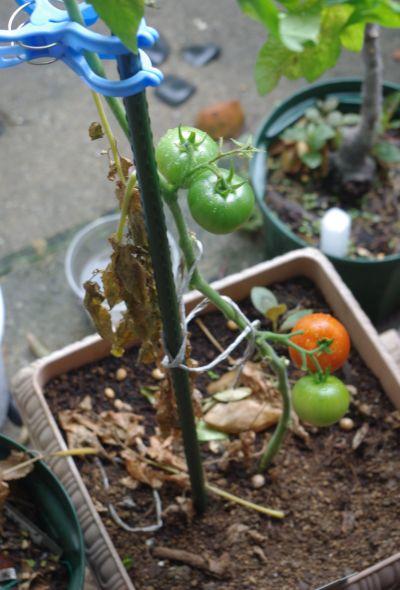 120701-フルーツトマト