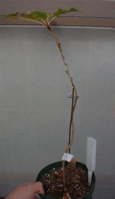 121224-桜桃実生2-1