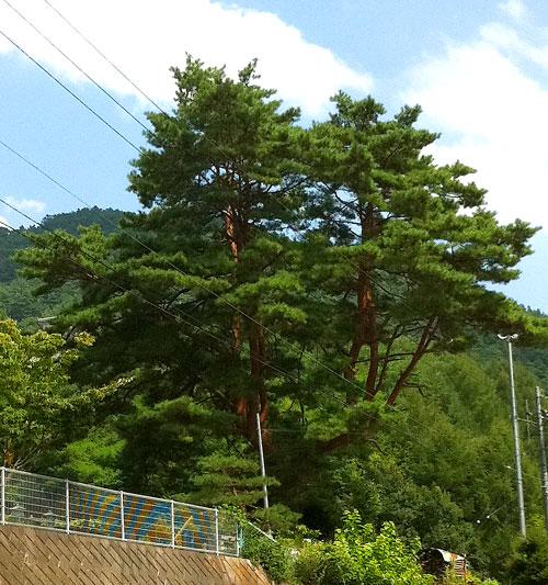 役場付近の木