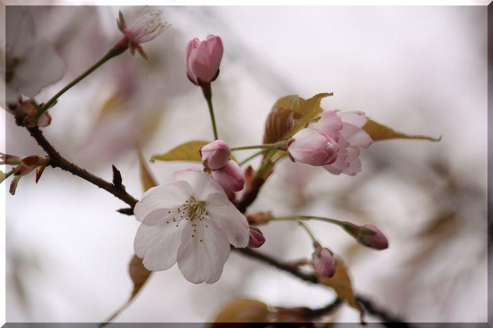 尾崎団地入り口桜 1
