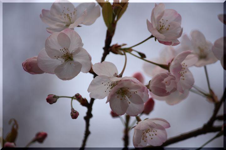 尾崎団地入り口桜3