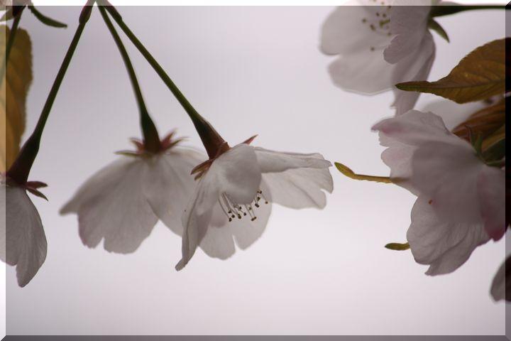 尾崎団地入り口桜8