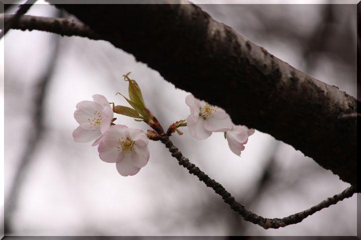 尾崎団地入り口桜10