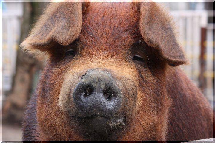 なっちゃん豚 1