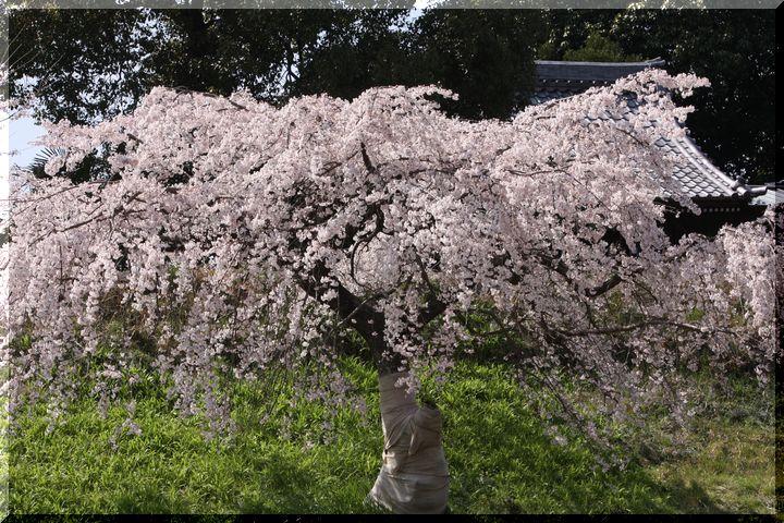 木曽川堤 枝垂れ桜2