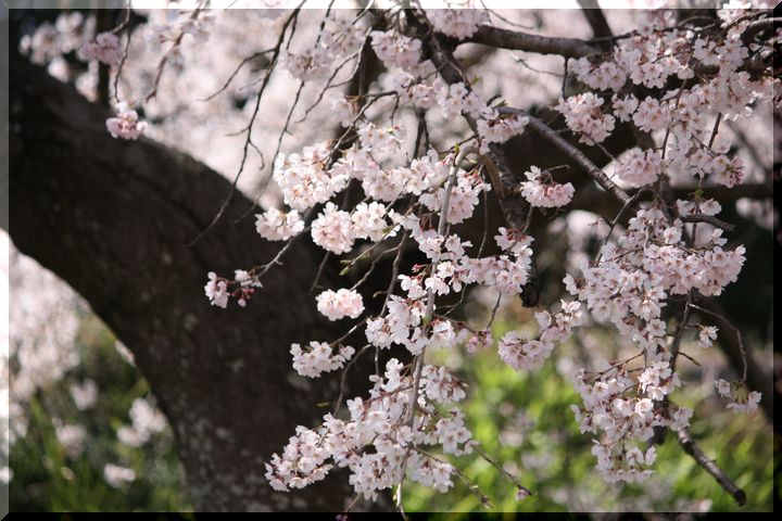 木曽川堤 枝垂れ桜3