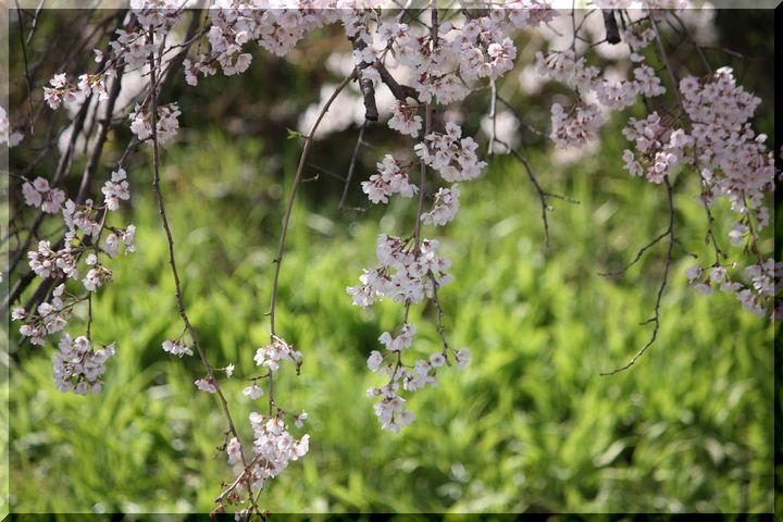 木曽川堤 枝垂れ桜4