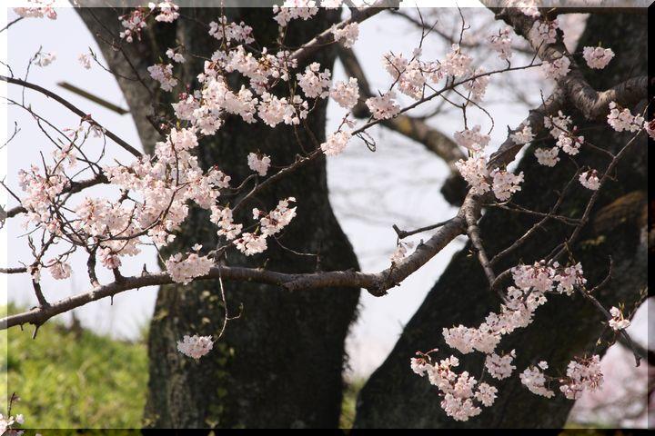木曽川堤 枝垂れ桜7