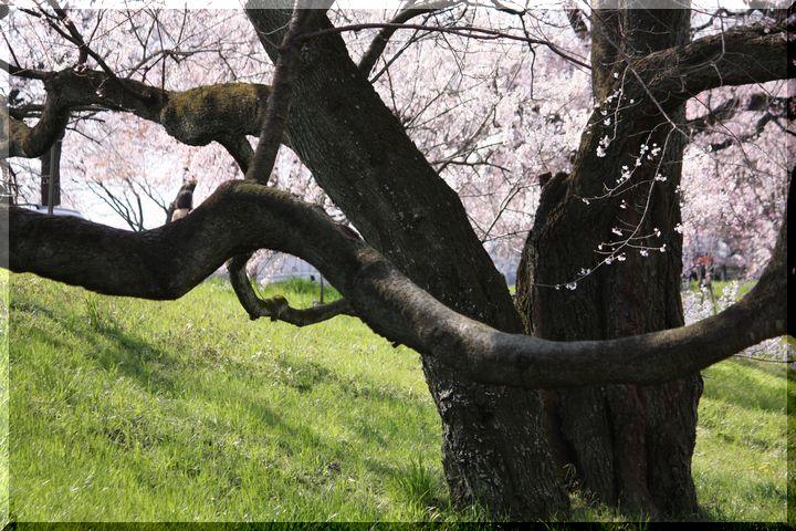 木曽川堤 枝垂れ桜10