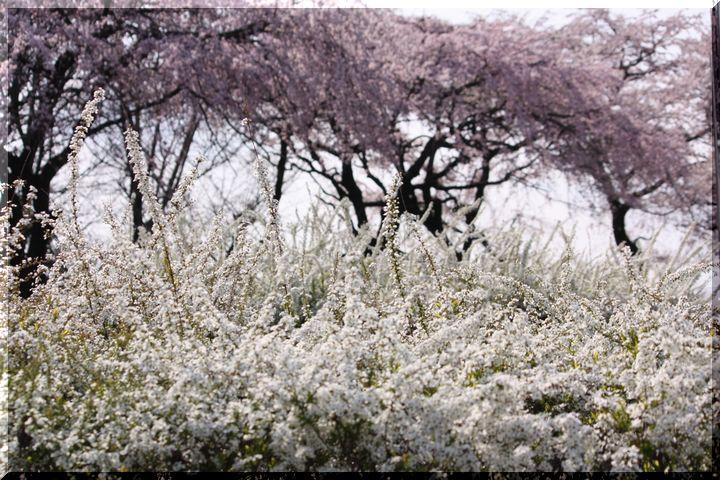 木曽川堤 枝垂れ桜11