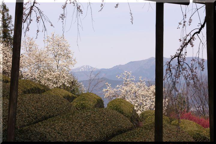 池田枝垂桜3