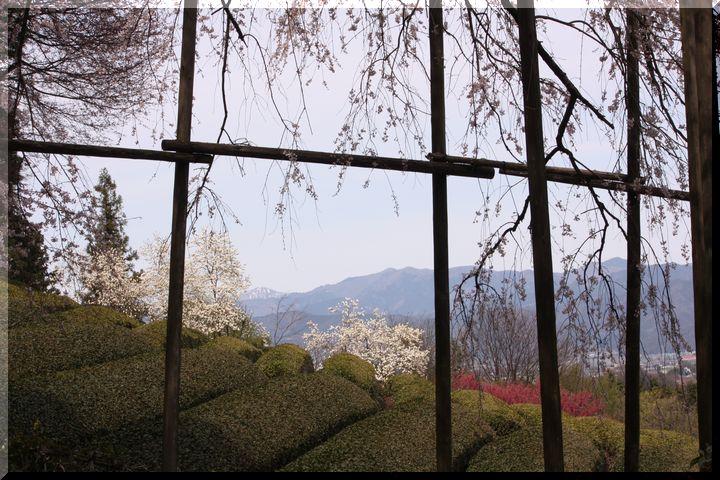 池田枝垂桜4