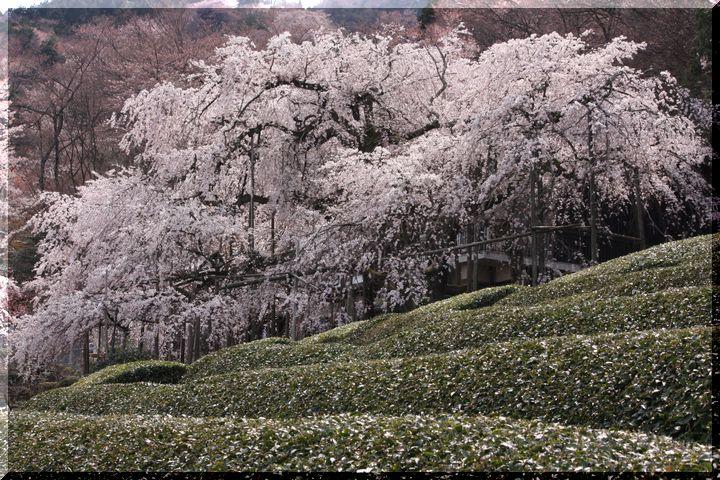 池田枝垂桜7