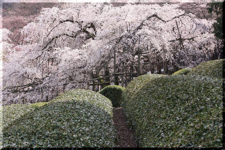 池田枝垂桜8