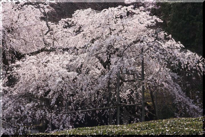 池田枝垂桜10