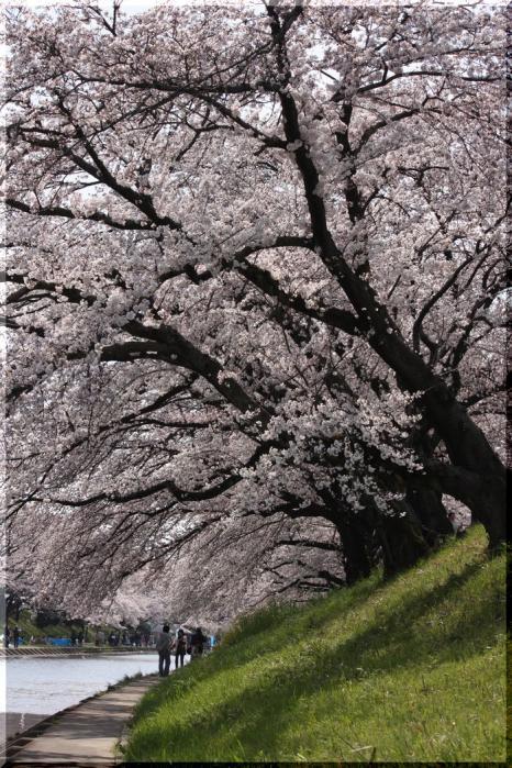 境川桜 1