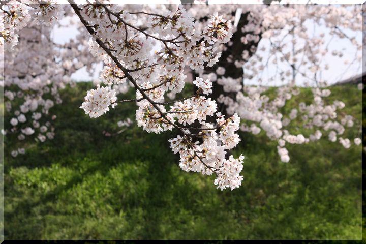 境川桜10