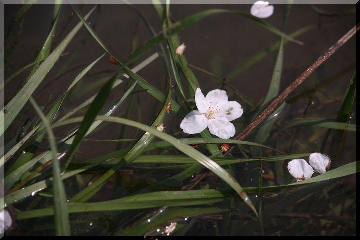 境川桜11
