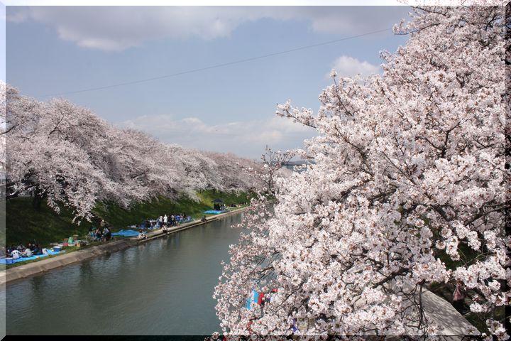 境川桜13