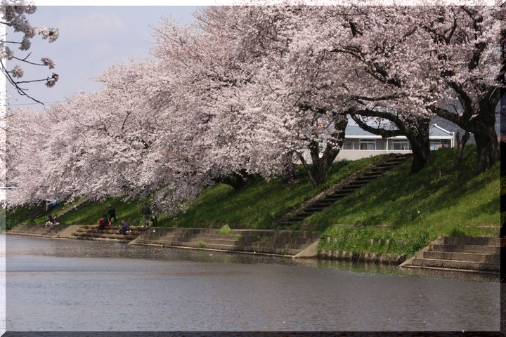 境川桜14