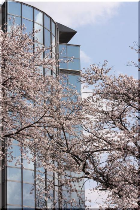 境川桜15