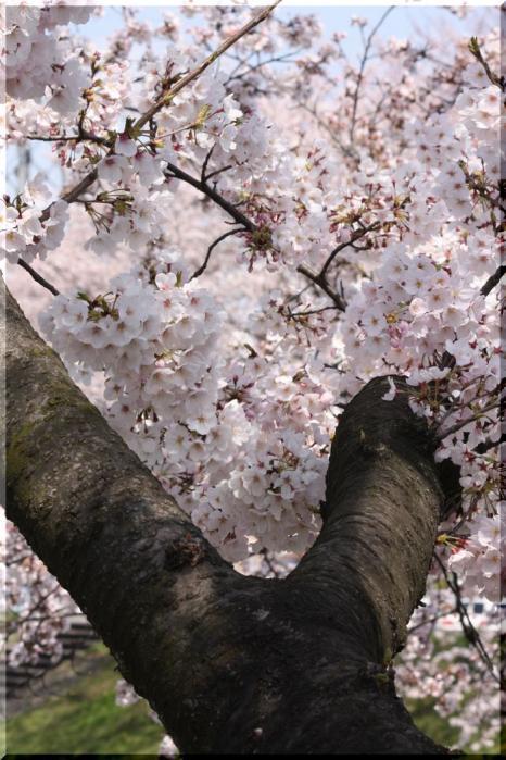 境川桜16