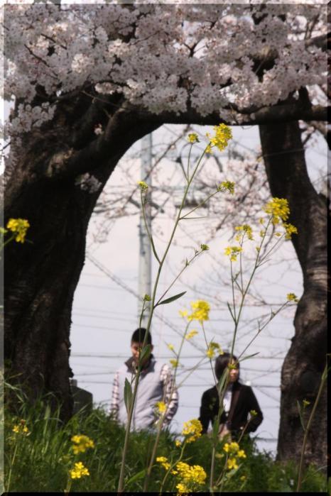 境川桜17