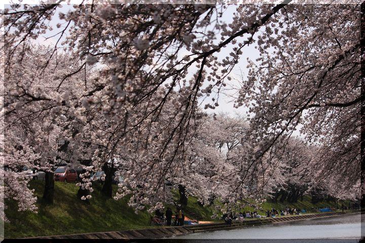 境川桜18