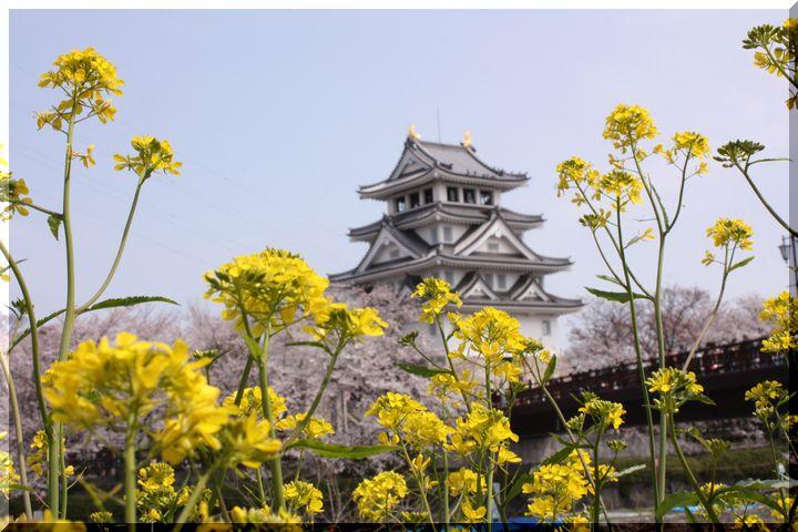 ~ 一夜城と桜2