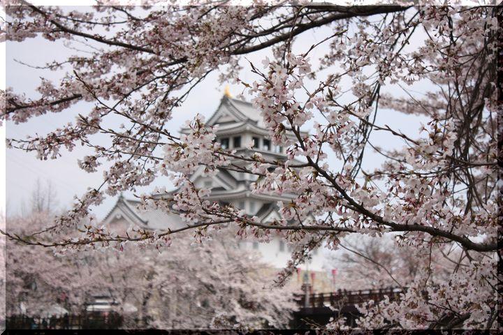 ~ 一夜城と桜3