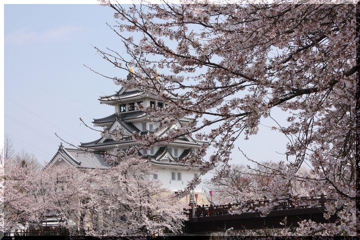 ~ 一夜城と桜7