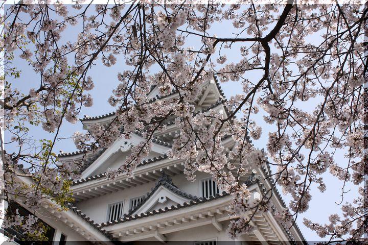 ~ 一夜城と桜12