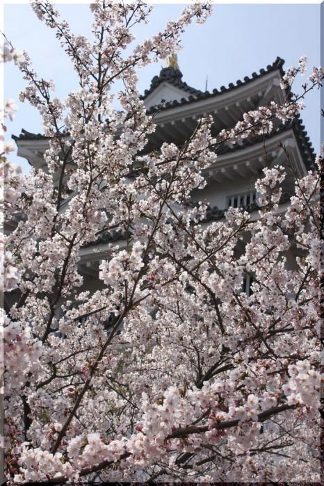 ~ 一夜城と桜13