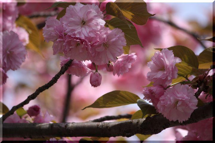 岐阜公園春3