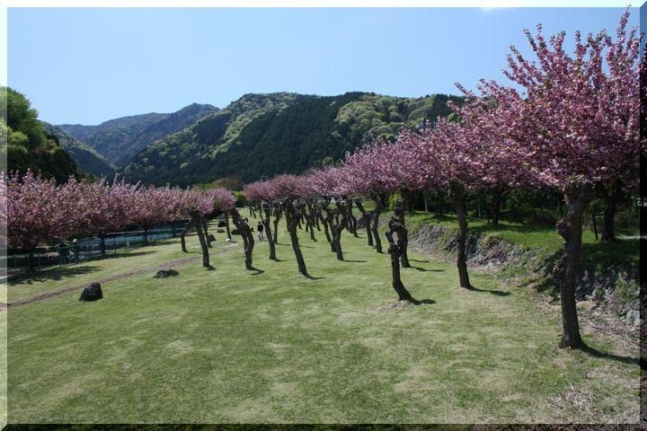 羽根谷 八重桜1