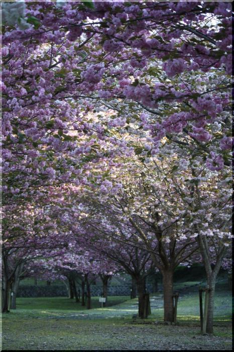 羽根谷 八重桜15