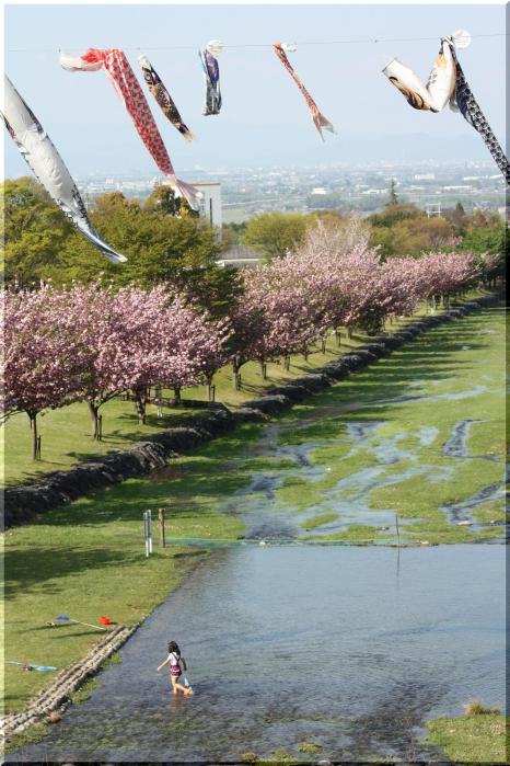 羽根谷 八重桜10