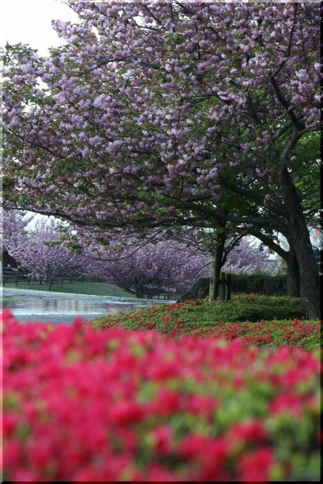 羽根谷 八重桜11