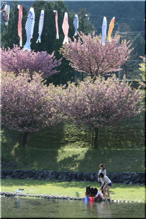 羽根谷 八重桜9